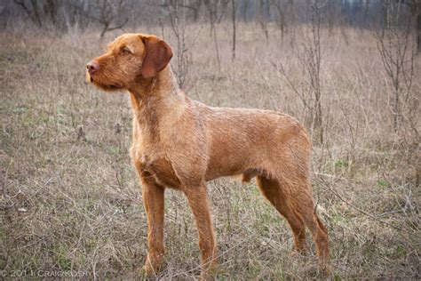 Do Hungarian Wirehaired Vizslas Shed by Pointing Breed Of The Week Hungarian Wirehaired