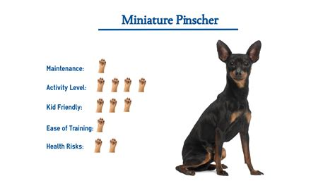 Miniature Pinscher Dog Breed… Everything That You Need to ...