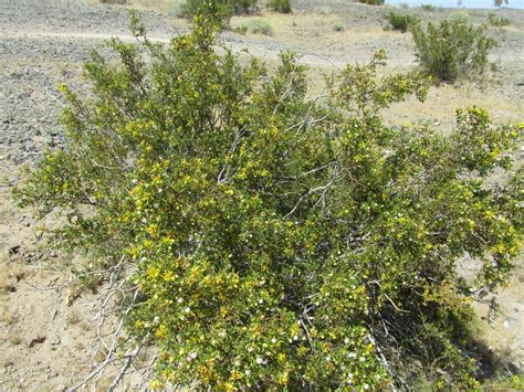 of bush creosote bush information caring for a creosote in the garden