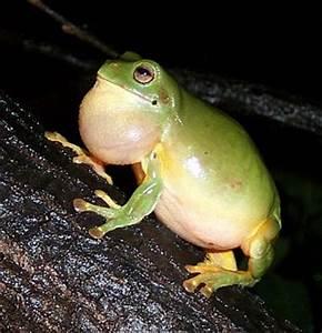Green tree frog Katherine Northern Territory Australia ...
