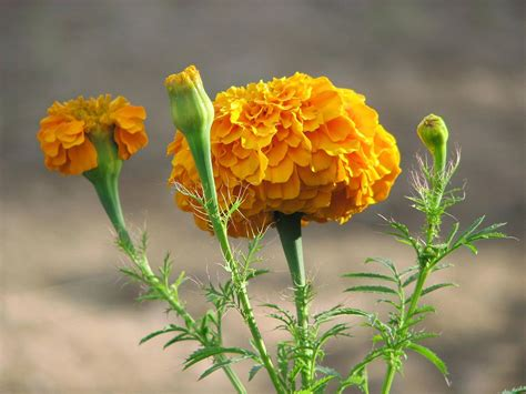 mexican marigold wiktionary