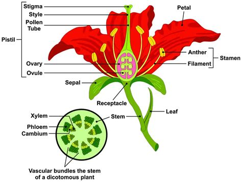 Diagram Of Flower Part by Parts Of A Flower And Plant Do You Them All 7