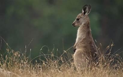 Kangaroo Animals Animal Gifs Queue Wifflegif