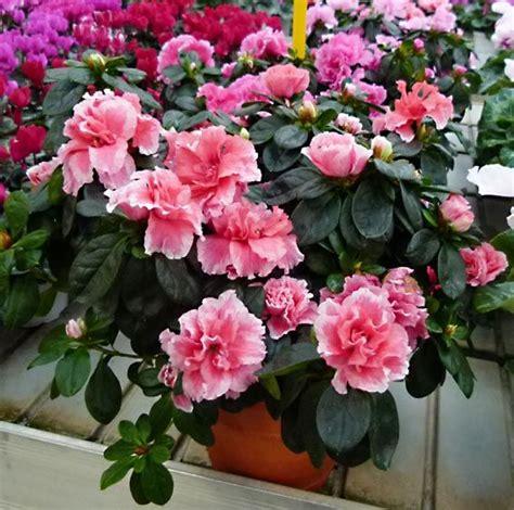 azalea coltivazione in vaso azalea o rododendro coltivazione e cura della pianta
