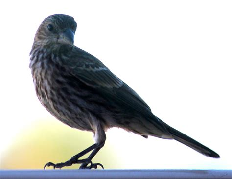birds sing beautifully every morning outside my office window