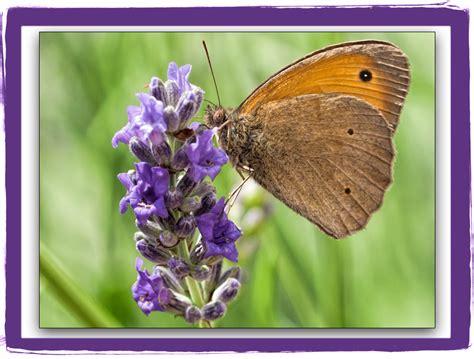 fiore di lavanda farfalla e fiori di lavanda figline