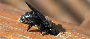 Insecte Qui Mange Le Bois : insectes du jardin l 39 abeille charpenti re ~ Farleysfitness.com Idées de Décoration