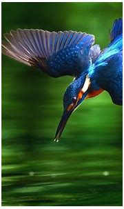 232 Birds / KingfishersHD Wallpapers | Background Images ...