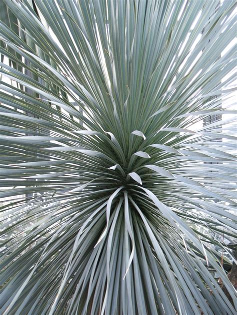 best agave 25 best images about agave plants on pinterest agaves longwood gardens and hens
