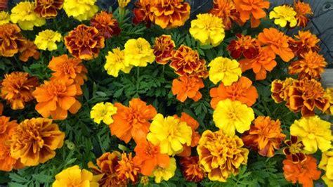 heirloom seeds marigold 39 mix 39 seeds garden hoard