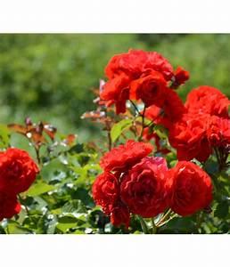 Hohe Pflanzkübel Für Rosen : adr rosen dehner ~ Whattoseeinmadrid.com Haus und Dekorationen