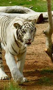 White Tiger   White tiger, Tiger, White