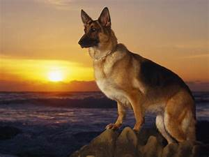 German Shepherd dog at sunset wallpapers and images ...