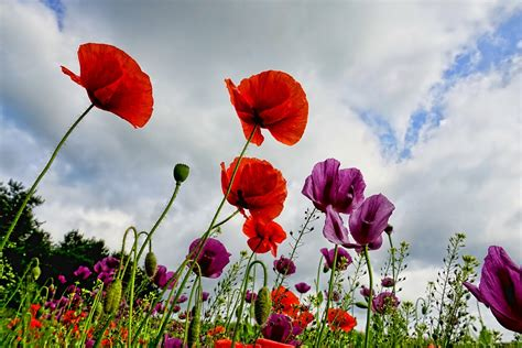grow poppies grow guides