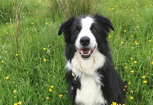 Adopt a Dog | Bailey, Border Collie | Dogs Trust