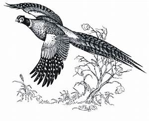 Pheasant hunting clip art 2 - Clipartix