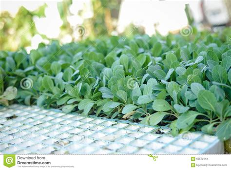 Young Green Rows Of Small Fresh Seedlings On Stock Photo