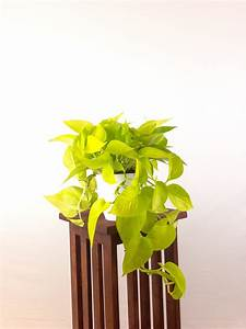 Large, Neon, Pothos, -, Air, Purifying, Indoor, Plant