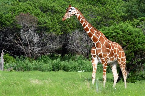what color are giraffes reticulated giraffe facts habitat adaptations pictures