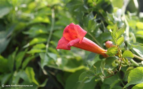 trumpet flower trumpet vine pictures trumpet creeper pictures