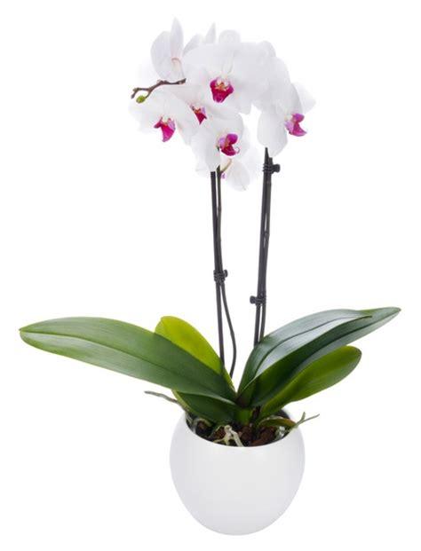 entretien d une orchidee en pot 28 images entretien d une orchidee great orchide racines