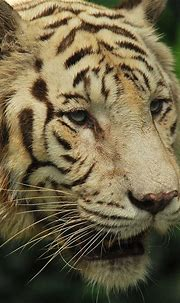 1732 best images about Tigers! *-* on Pinterest | Golden ...
