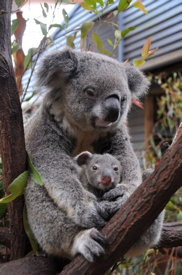koala joeys galore  australias dreamworld zooborns