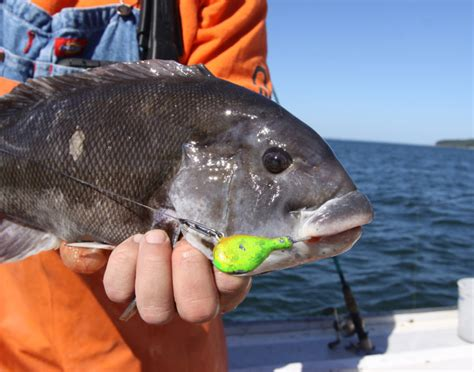 blackfish fish hook rig tog wisdom blackfishing crab angler jig catch two boat coastalanglermag bottom