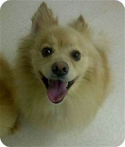 Nicky | Adopted Dog | North Olmsted, OH | Pomeranian ...