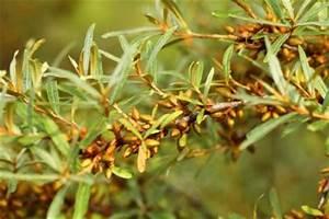 Sanddorn Pflanzen Kaufen : sanddorn pflanzen die besten pflanztipps hinweise ~ Eleganceandgraceweddings.com Haus und Dekorationen
