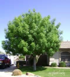 common front yard trees a wonderful dilemma ramblings from a desert garden