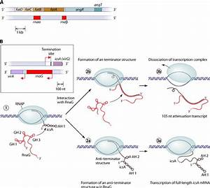 Mechanisms Of Transcription Termination By Bacterial