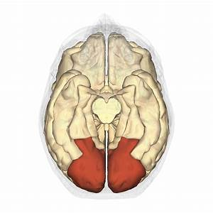 File Occipital Lobe - Inferior View Png