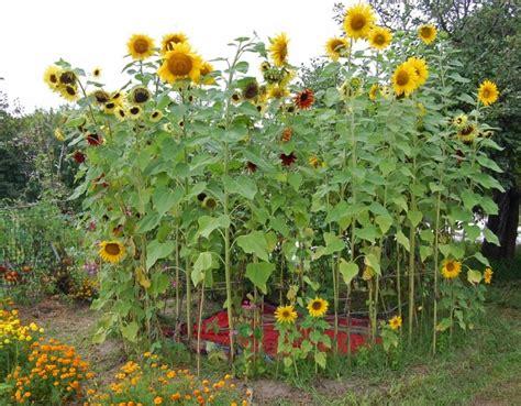 sun flower garden two men and a little farm sunflower house inspiration thursday