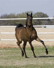 Arabian Horse | pictures and information