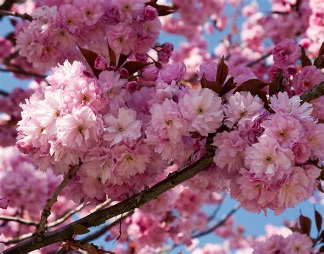 flowering cherry kwanzan flowering cherry georgeous