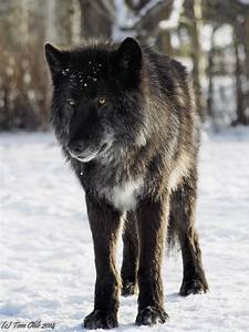 Black Wolf dog | Visited a wolf dog sanctuary. This is ...