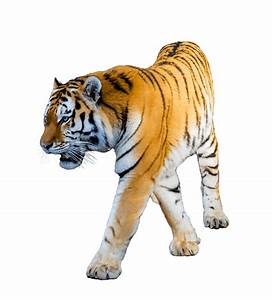 Tiger Walking transparent PNG - StickPNG