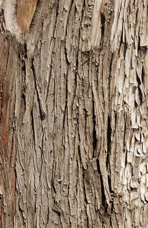 barkpine  background texture wood bark pine