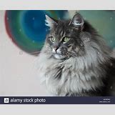 Orange Siberian Kitten | 1300 x 1064 jpeg 123kB