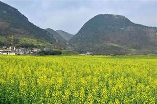 Luoping China Canola Fields