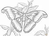 Coloring Moth Atlas Realistic Luna Pages Printable Beetle Dragon Animals sketch template