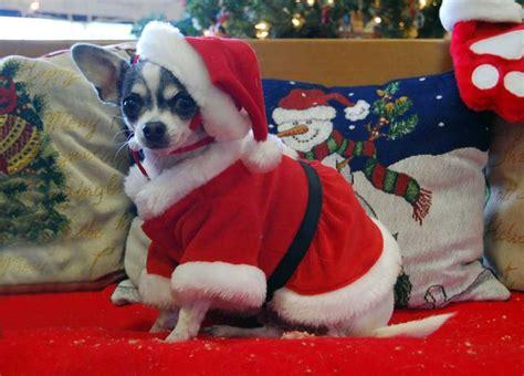 chihuahua santa awww     guy remy