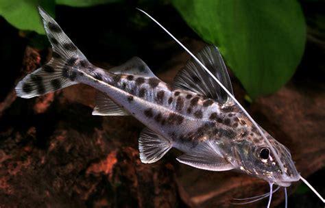 catfish information types  care  aquarium info