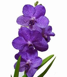 Orchidee Vanda Pflege : blaue zimmer orchidee princess mikasa baldur garten ~ Lizthompson.info Haus und Dekorationen