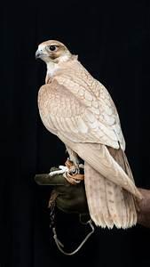 The Hybrid Gold Falcon   Exclusive Falcons  Falcon
