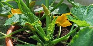 Kübel Bepflanzen Winterhart : zucchini im k bel standort pflege anbau pflanzen s en ~ Michelbontemps.com Haus und Dekorationen