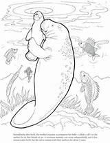 Coloring Manatee Pages Cute Drawing Dover Dugong Printable Manatees Baby Print Publications Animals Sea Doverpublications Drawings Cartoon Template Funny Craft sketch template