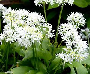 Bärlauch Pflanze Kaufen : b rlauch schnittknoblauch schnittlauch knoblauch 30 samen kaufen ~ Eleganceandgraceweddings.com Haus und Dekorationen