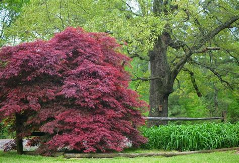 best ornamental trees top 28 top ornamental trees ornamental crabapple small trees top 10 small trees sunset